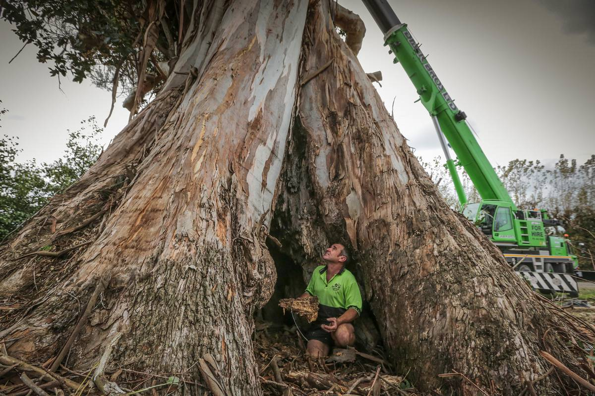 no-more-turning-left-at-the-gum-tree-haumoana-loses-its-giant-landmark-to-rot