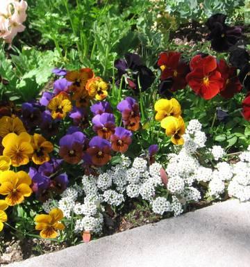 Gardening Pansy Or Viola Nz Herald