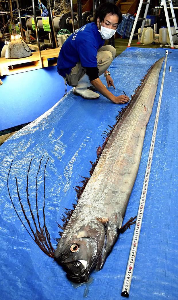 A deep-sea slender oarfish is examined at the Uozu Aquarium in Uozu, Japan. Photo / Japan News-Yomiuri