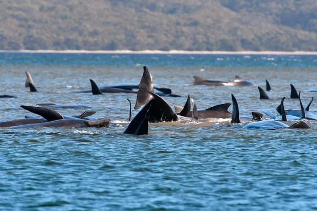 Pilot whales lie stranded on a sand bar near Strahan on Monday. Photo / AP