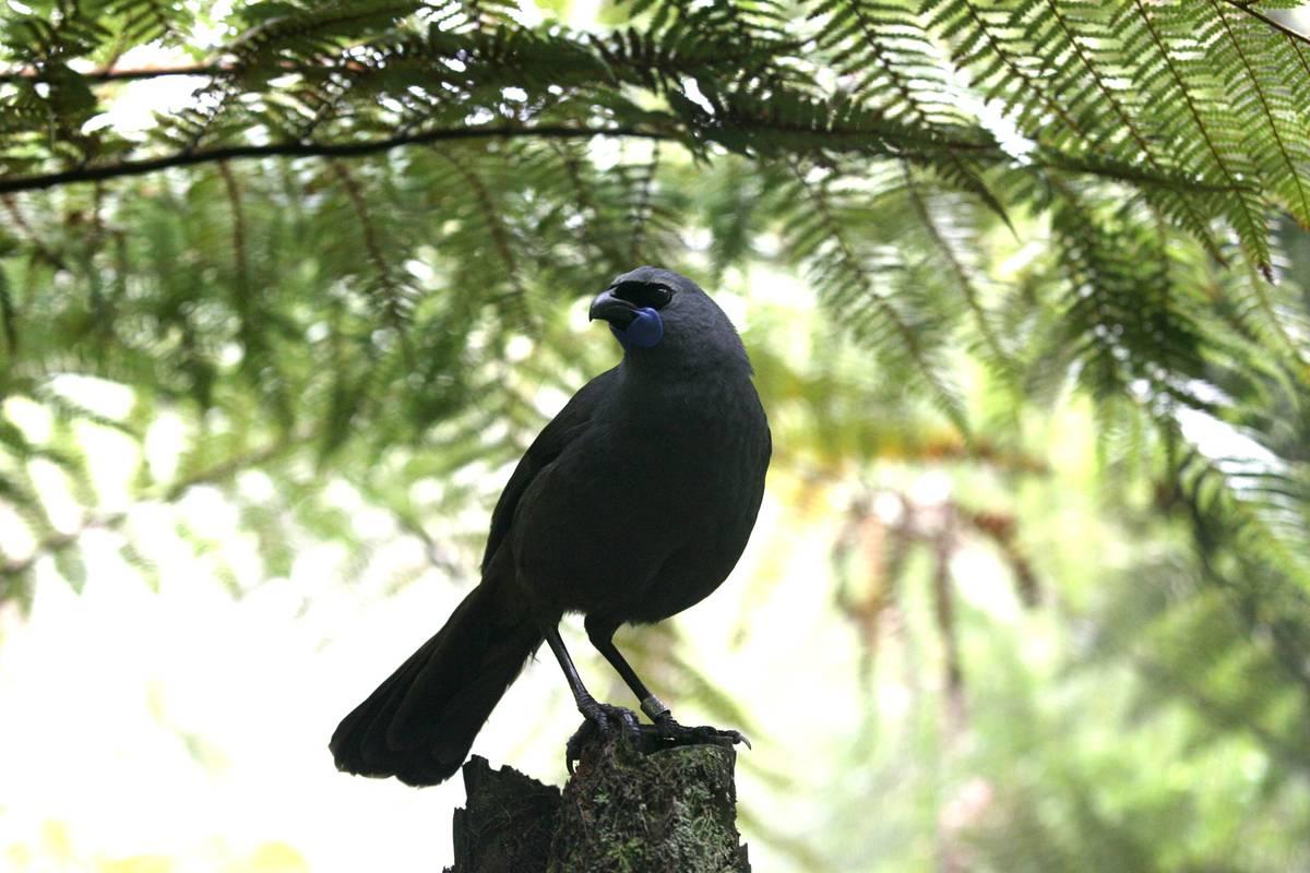 Record rat numbers in Waitākere Ranges raise fears for kōkako
