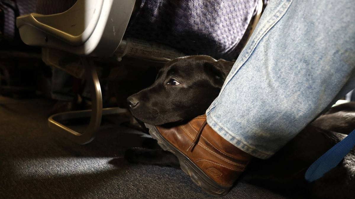 US airways tighten guidelines on service animals allowed on planes – NZ Herald
