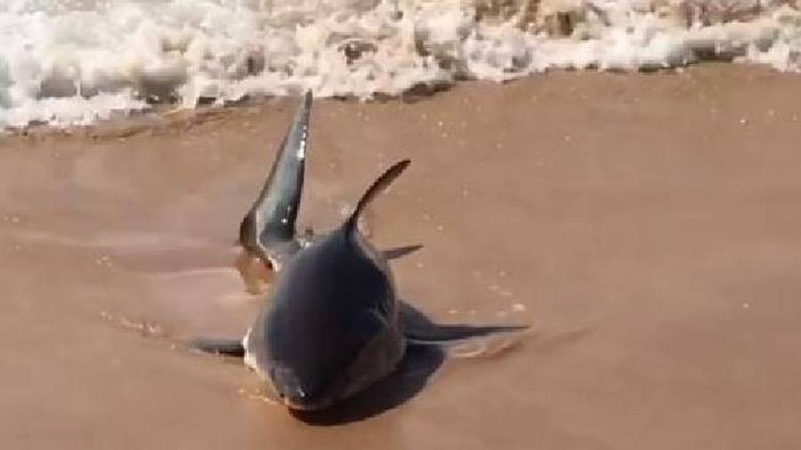 Injured 'real-life' great white shark washes up on Sydney beach