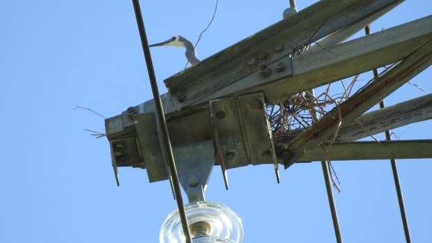 Birds, their nest material and their poo can trip circuits, causing power circuits to trip and disconnect. Photo / Supplied