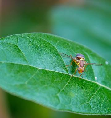 Millions poured into Queensland fruit fly fight, but the cost is