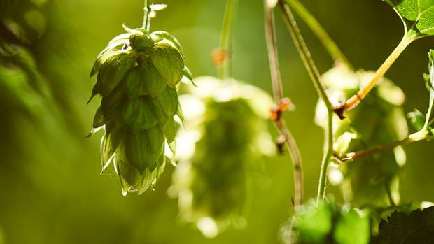 NZ Hops has done a deal with a UK company to process New Zealand hops into pure oils.