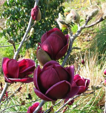 Magnolias Showing Their True Colours Nz Herald
