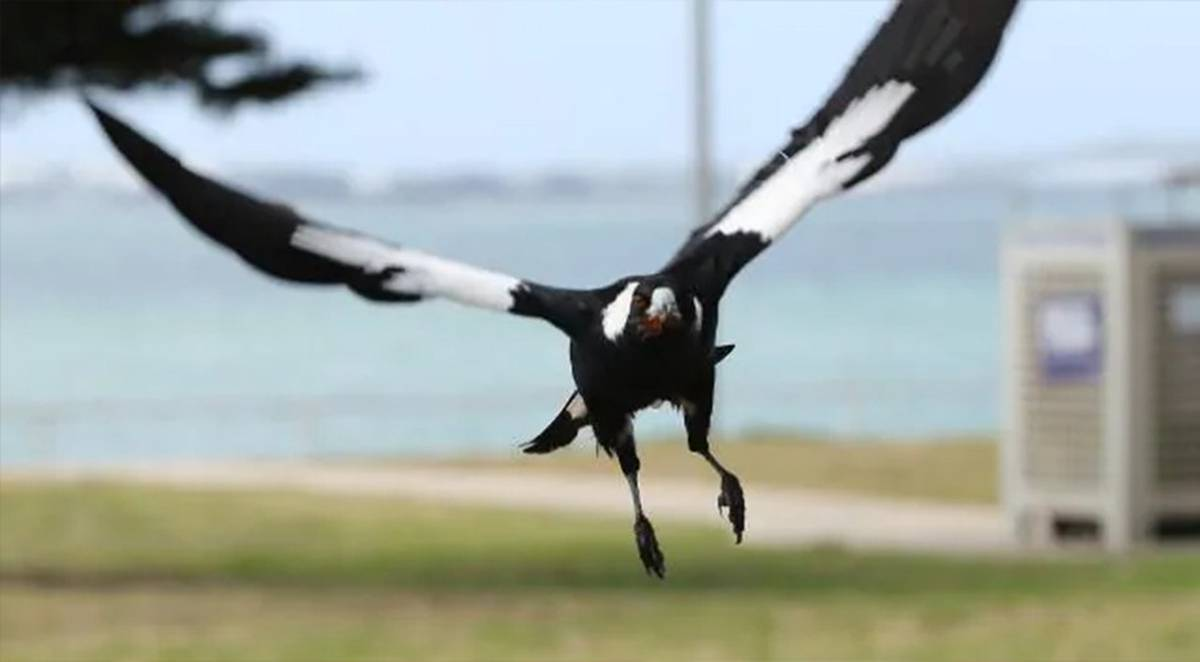 Cyclist dies trying to avoid swooping magpie
