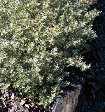 Gardening Abelia All Things To All Gardens Well Almost Nz Herald
