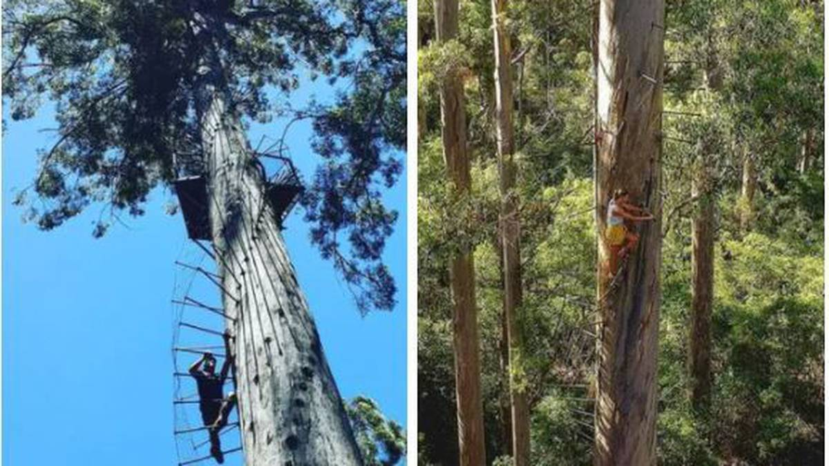 Australia journey: Dave Evans Bicentennial Tree dubbed Australia's scariest vacationer attraction – NZ Herald
