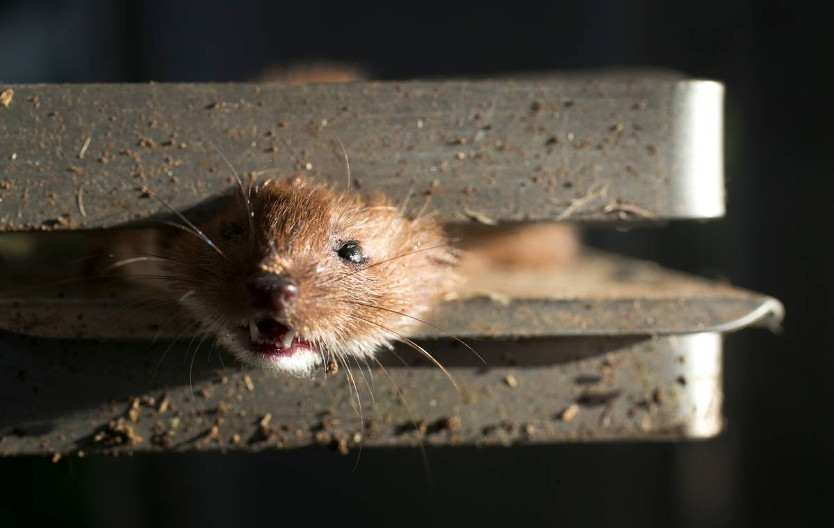 Can New Zealand really kill every rat, possum and stoat