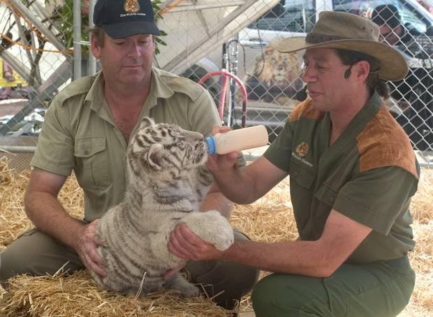 Lion Man Craig Busch feeding a white tiger cub in 2005. New Zealand Herald Photograph
